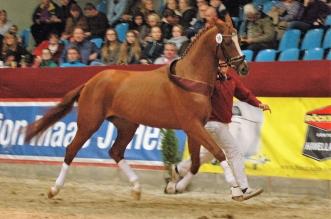Der Dressur-Sieger-Hengst (Nr.19 Quaterback Brentano II Gotland) Foto: Margot Schöning